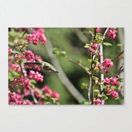 Hummingbird on a red Currant Bush Canvas Print