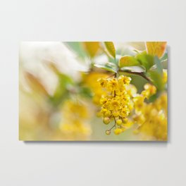 Berberis yellow flowering shrub Metal Print