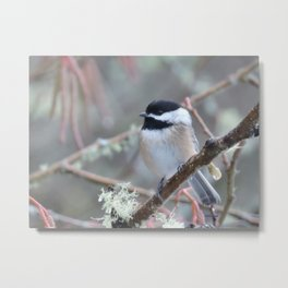 Chickadee in the Alder Tree Metal Print