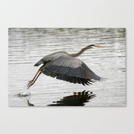 Pacific Great Blue Heron Canvas Print