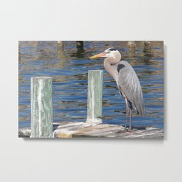 Great Blue Heron on Dock Metal Print
