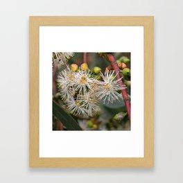 Beautiful white gum blossom Framed Art Print