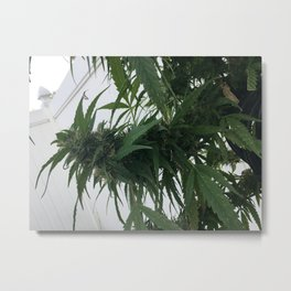 Cannabis seen on mail route Metal Print