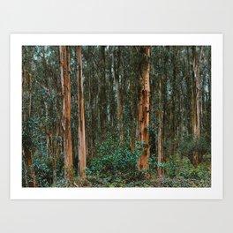 Eucalyptus Trees Near Berkeley California Art Print