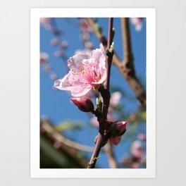 Delicate Buds of Peach Tree Blossom Art Print