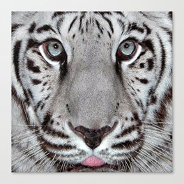 White Tiger with a little tougue Canvas Print