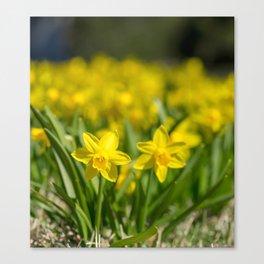 Tiny Daffodils Canvas Print