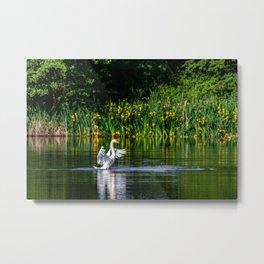 Swan streching on the water Metal Print