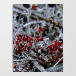 Devil's Matchstick Lichen Poster