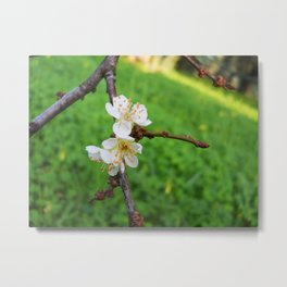 Prunus spinosa Metal Print