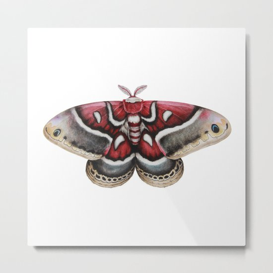 Moth - HYALOPHORA GLOVERI - Glover's silkmoth By Magda Opoka Metal Print