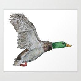 Flying Duck Art Print