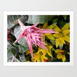 Aechmea pink blossom of the Bromeliaceae family Art Print
