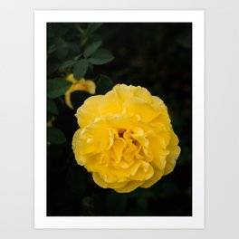 Blooming Mellow Yellow Floribunda rose in the garden Art Print