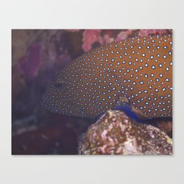 Blue Spotted Grouper Canvas Print
