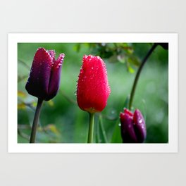 Morning Tulips Art Print