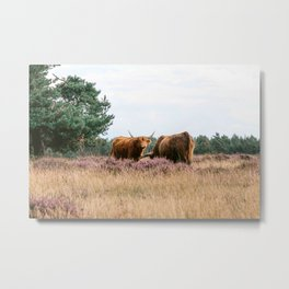 Two grazing Wild Scottish Highlander cows in national park | Cattle in Nature | Veluwe park, the Netherlands | Travel photography Metal Print