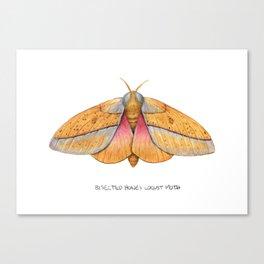 Bisected Honey Locust Moth (Sphingicampa bisecta) Canvas Print