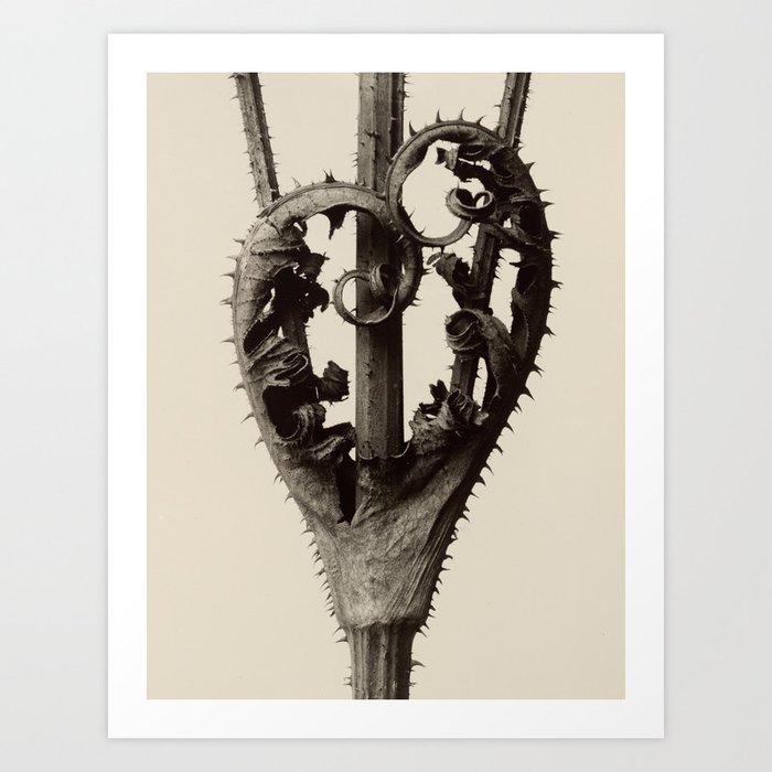 Karl Blossfeldt - Dipsacus laciniatus Kunstdrucke