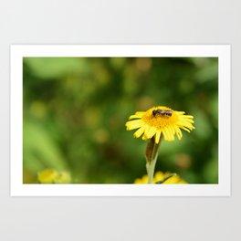 Small bee on yellow fleabane Art Print