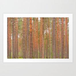 Slender tree trunks of a pine forest Art Print