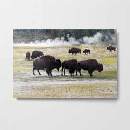 North American Buffalo near the hot springs in Yellowstone National Park Metal Print