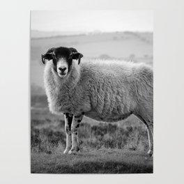 An Exmoor sheep. Poster