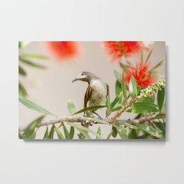 Australian Brown Honeyeater Bird. Metal Print