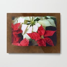 Mixed Color Poinsettias 2 Blank P3F0 Metal Print