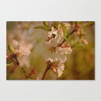 cherry blossoms Canvas Prints featuring Cherry Blossoms by Dorothy Pinder
