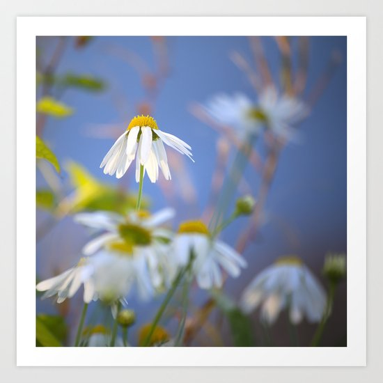 Daisies on a sunny summer day with blue sky Art Print