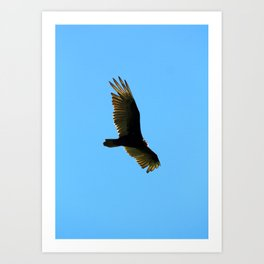 A Turkey Vulture In Tobermory Art Print