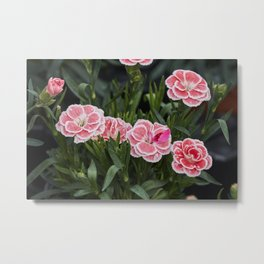 pink carnation in bloom in spring Metal Print