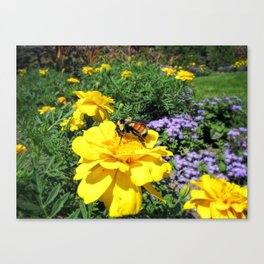 Close Up of a Bumble Bee Pollinating a Yellow Marigold ~ Insect Photography  Canvas Print