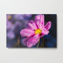 cosmea flower Metal Print