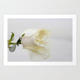White Rose with Unfolding Petals Photograph Art Print