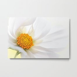 Cosmea white macro 060 Metal Print