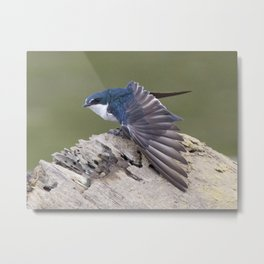 Mangrove Swallow Metal Print