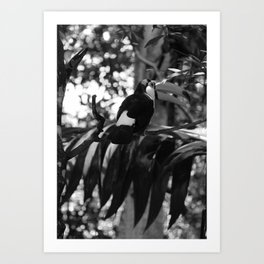 Black and White Tucano bird - Brazil Art Print
