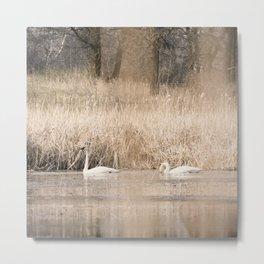 Trumpeter Swans 3 Metal Print
