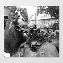 [Photography Prints] Kitten Kou Canvas Print