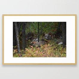 Big Horn Sheep Montana Framed Art Print
