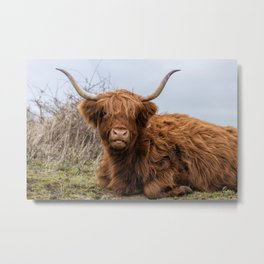 galloway highland cow Metal Print