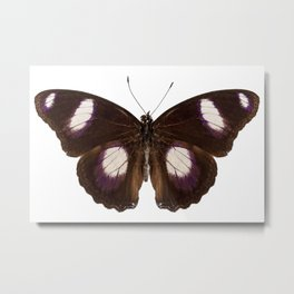 "Butterfly species Hypolimnas misippus male ""Danaid Eggfly"" Metal Print"