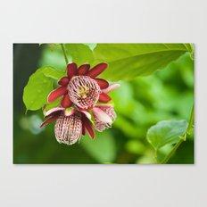 Passiflora 3 flowers 428 Canvas Print