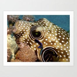Puffer Fish Being Cleanced Art Print