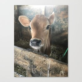 Baby Calf Canvas Print