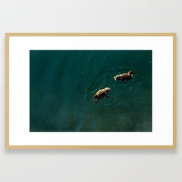 Baby ducks in a lake Framed Art Print