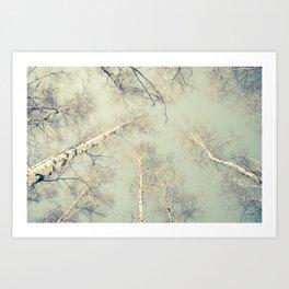 birch trees 3 Art Print