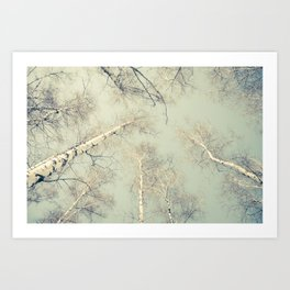 birch trees 3 Kunstdrucke